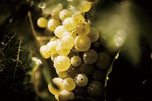 「ルイ13世」となるのに最も適したブドウ